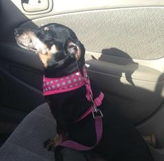 Dachshund Dog For Adoption in Coatesville, PA, USA