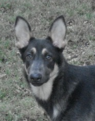 German Shepherd Dog Dog For Adoption in Kansas City, MO