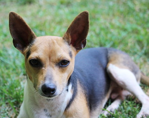 Rat Terrier Dog For Adoption in Atlanta, GA, USA