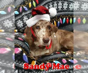 Basschshund Dogs for adoption in San Antonio, TX, USA