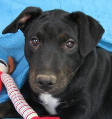 American Pit Bull Terrier Mix Dog For Adoption in Cuba, NY, USA