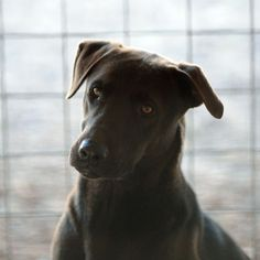 Labrador Retriever Mix Dog For Adoption in Clifton, TX
