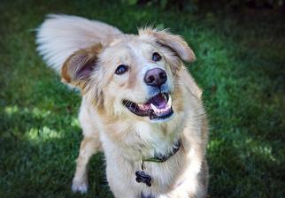 view ad border collie golden retriever mix dog for adoption