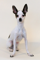 Chihuahua Mix Dog For Adoption in Bloomington, MN, USA