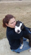 American Pit Bull Terrier Mix Dog For Adoption in Tunica, MS, USA