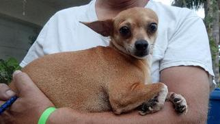 Chihuahua Dog For Adoption in Royal Palm Beach, FL, USA
