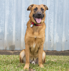 Australian Retriever Dog For Adoption in Houston, TX, USA