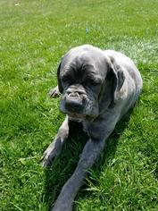 Neapolitan Mastiff Dog For Adoption near 17963, Pine Grove, PA, USA