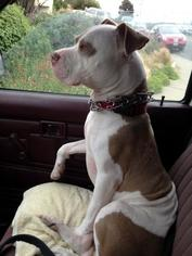 Bullypit Dog For Adoption in Richmond, CA