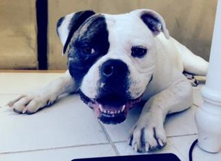 American Bulldog Dog For Adoption in Monkton, MD, USA