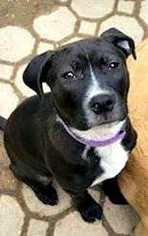 American Staffordshire Terrier-Labrador Retriever Mix Dog For Adoption in Durham, NC, USA
