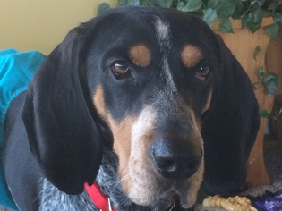 Bluetick Coonhound Dog For Adoption in Harrisburg, PA, USA