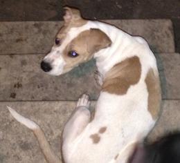 American Staffordshire Terrier Mix Dog For Adoption in Alvarado, TX, USA
