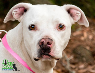 American Bulldog Dog For Adoption in savannah, GA, USA