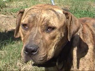 American Pit Bull Terrier-Catahoula Leopard Dog Mix Dog For Adoption in Tyler, TX, USA