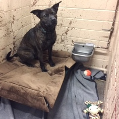 American Pit Bull Terrier Mix Dog For Adoption in Show Low, AZ