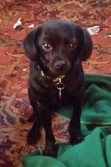 Chihuahua Mix Dog For Adoption in Alpharetta, GA