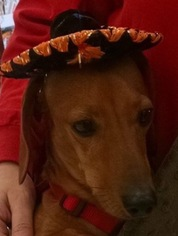 Dachshund Dog For Adoption in Nashville, TN, USA