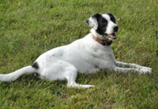 Pointer Dog For Adoption in Morehead, KY, USA