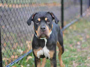 View Ad American Staffordshire TerrierRottweiler Mix Dog For - Terrier and rottweiler