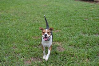 Wonderful Wisconsin Beagle Adorable Dog - df1d0ffe4cd12322_39281017_640x426  You Should Have_7410097  .jpg