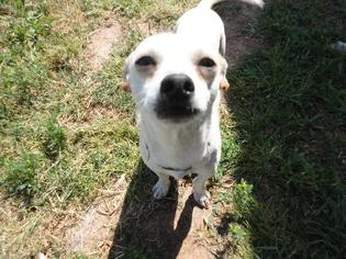 Chihuahua Dog For Adoption in Fresno, CA, USA