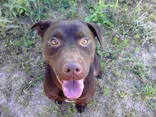 American Bulldog Mix Dog For Adoption in Smithfield, NC, USA