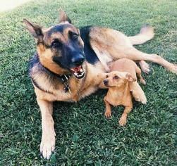 German Shepherd Dog Dog For Adoption in Rancho Santa Margarita, CA