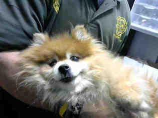 Pomeranian Dog For Adoption in Atlanta, GA, USA