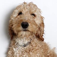 Irish Doodle Dogs for adoption in Eden Prairie, MN, USA