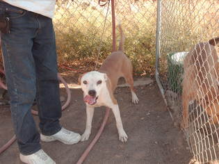 American Staffordshire Terrier Dog For Adoption in Golden Valley, AZ, USA