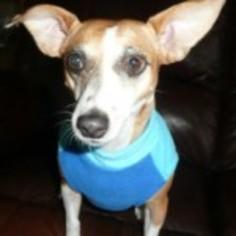 Jack Chi Dog For Adoption in Houston, TX, USA