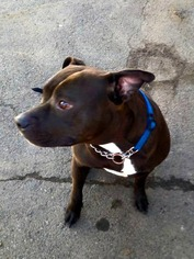 American Pit Bull Terrier Mix Dog For Adoption in Binghamton, NY, USA