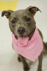 American Pit Bull Terrier Dog For Adoption in Porter Ranch, CA, USA