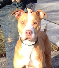 American Pit Bull Terrier Mix Dog For Adoption in Slidell, LA