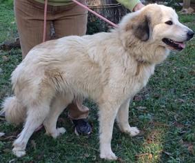 View Ad: Australian Shepherd-Great Pyrenees Mix Dog for Adoption