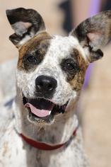 Boxer-Pointer Mix Dog For Adoption in Kanab, UT, USA