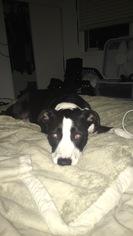American Pit Bull Terrier-Border Collie Mix Dog For Adoption in Rancho Santa Margarita, CA