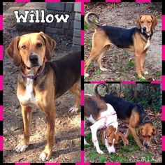 Beagle-Treeing Walker Coonhound Mix Dog For Adoption in Shaw AFB, SC, USA