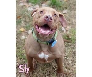 Labrador Retriever Dogs for adoption in Mason, MI, USA