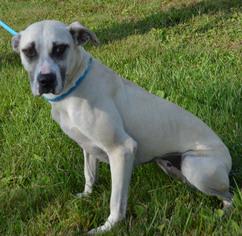 Boxer Mix Dog For Adoption in Trenton, MO, USA