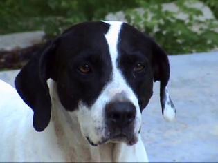Pointer Dog For Adoption in Tyler, TX
