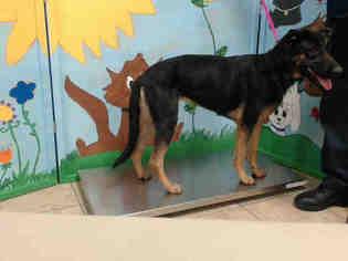 German Shepherd Dog Dog For Adoption in Houston, TX, USA