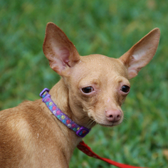 Chihuahua Mix Dog For Adoption in Helotes, TX, USA