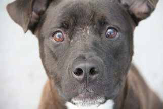 American Pit Bull Terrier-Labrador Retriever Mix Dog For Adoption in Fort Lauderdale, FL