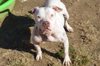 American Bulldog Mix Dog For Adoption in New York, NY, USA