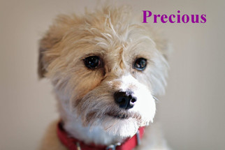 View Ad Brussels Griffon Cairn Terrier Mix Dog For Adoption