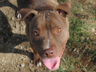 American Pit Bull Terrier Dog For Adoption in Anniston, AL, USA