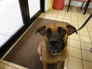 Bullmasador Dog For Adoption near 33411, West Palm Beach, FL, USA