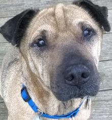 Chinese Shar-Pei Mix Dog For Adoption in Barnegat Light, NJ